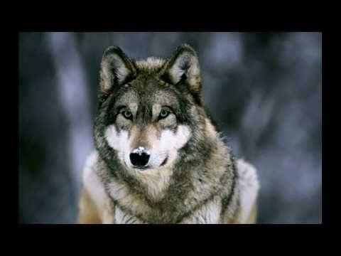 Wolves - Howling - In Nature